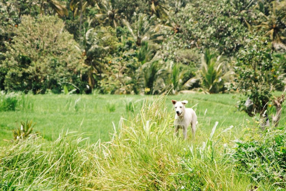 Reisfelder bei Ubud auf Bali