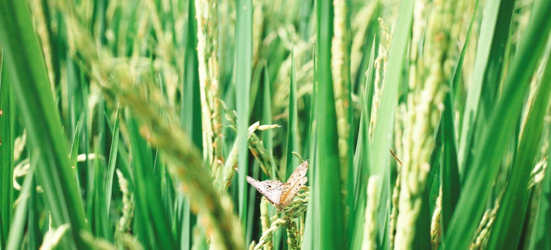 Wie kann ich mich weniger mit anderen vergleichen - Bali Ubud Reisfelder